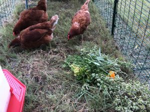 Using herbs with backyard chickens.